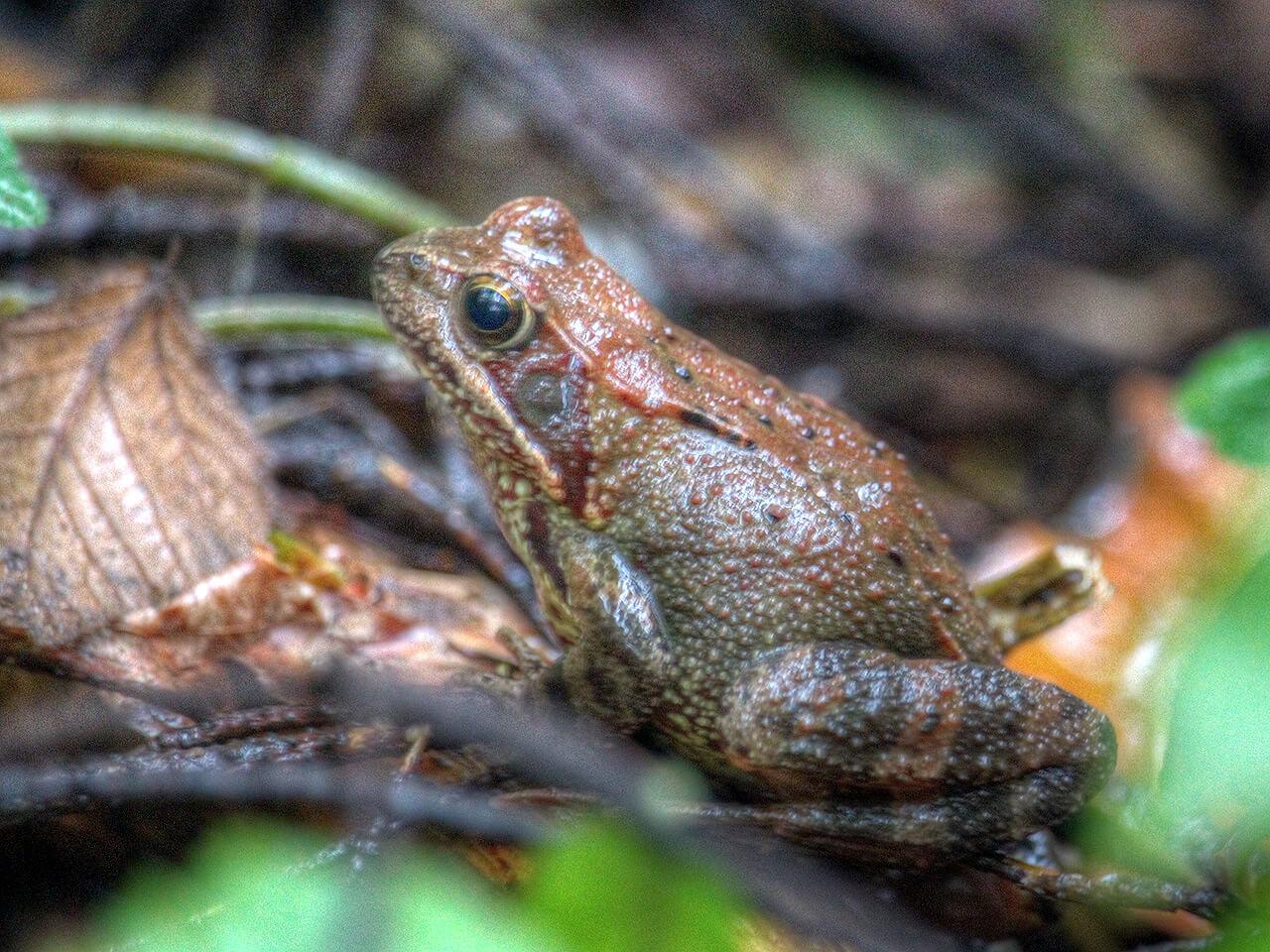 Frosch im Wald bei Lauenburg